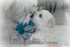 Little Maltese Puppy