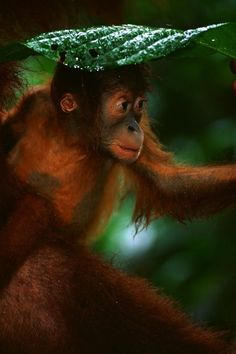Baby orangutan holding a leaf over its head during a rainstorm.