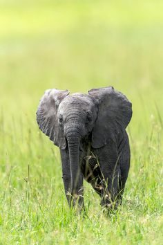 African Calf - Elephant by Nimit Virdi / 500px