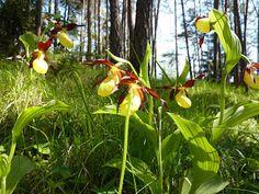 Longstoned: Orchids in Austria . Lady's Slipper Orchid , a dream come true, so rare in the U.K.