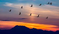 Pourquoi les oiseaux migrateurs volent en V ?