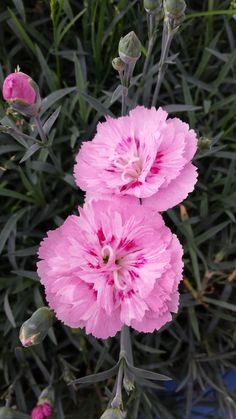 Dianthus 'Jan Louise'...mine have wintered over well and are blooming in early March