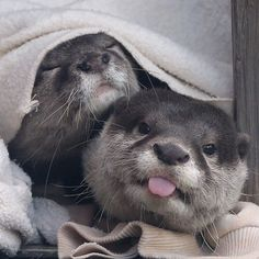 Otter doesn't care if you've just caught him and his friend after they've had a cheeky afternoon snooze… Source: https://twitter.com/otterbeginner/status/657022028134748160