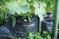 1000 cucumbers per square meter Vegetable Garden Design, Small Farm, Garden Care, Fruits And Vegetables, Lawn And Garden, Agriculture, Garden Landscaping, Gardening Tips, Landscape Design