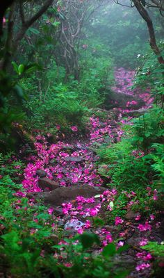 Rhododendron laden forest trail on Mount Rogers in western Virginia • photo: david mosner on Flickr