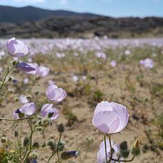 Desierto florido de Atacama, conociendo más rincones de chile / Flowers in the desert of Atacama, Chili