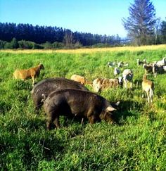 Multispecies Grazing: An Introduction | Temperate Climate Permaculture