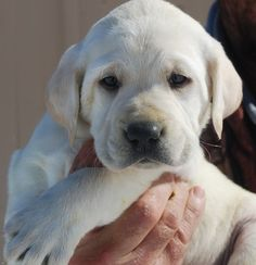 Male. British virtually white labrador from the Sparky and Morgan litter.  Last pup in litter.   belovedlabs@hotmail.com