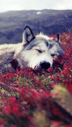 Resting wolf. Beauty in nature.