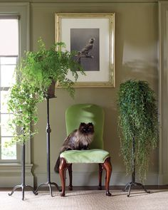 """Fancy Free:   Martha uses antique cast-iron stands in the Bird Room to carry, from left, variegated ivy, Hedera helix cv; maidenhair fern, Adiantum pedatum; and rainbow moss, Selaginella uncinata. Bartok the cat sits below """"Canary (2),"""" part of a set of gravures by contemporary artist Carsten Holler."""