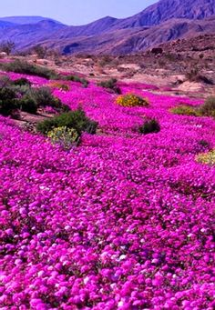 Wildflowers, Anza-Borrega State Park, CA This is actually the Verbena flower. It's so beautiful. My favorite flower in the desert other than when the Octillas bloom!