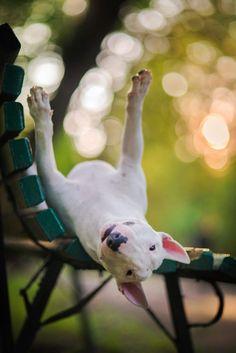bull terrier chillin', dog photo