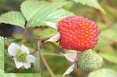 Sweet Native Rasberry.  Rubus Probus.  Best grown in its own tub and trellis to prevent it getting out of control.