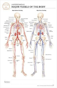 11x17 Post It Anatomy Poster An Overview Of The Human Circulatory System Online Scienc Human Anatomy And Physiology Human Circulatory System Online Science