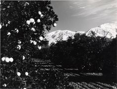 Lemon groves & Mt. Baldy