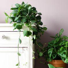 Momenteel ben ik helemaal gek van de Scindapsus Pictus in mijn urban jungle. Deze te gekke (hang)plant is niet alleen mooi om te zien, maar heeft ook nog eens een luchtzuiverende werking. De verzorging is niet moeilijk en ook het stekken is met een beetje geduld goed te doen. Ik leg het