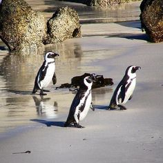 Adorable South African penguins in the golden light of Boulders Beach a one-hour drive on the spectacular Cape Peninsula Route and on the way to the Cape of Good Hope. African Penguin, Boulder Beach, Bouldering, Penguins, South Africa, Cape, Anna, Animals, Instagram