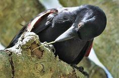 La fabrication doutils chez les corbeaux serait presque réflexe