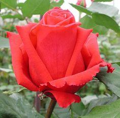 'Preference' hybrid rose