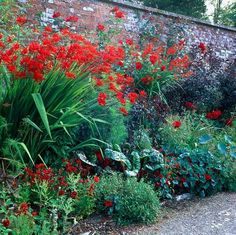 Crocosmia Lucifer standing tall in a beautiful red border