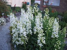 Dictamnus albus 'Albiflorus' White Gardens, All Plants, Summertime, Flora, Cottage, Outdoor Structures, Beautiful, Google, Moon