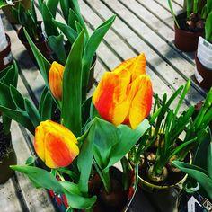 """Il copricapo turco, """"tullband"""", il tulipano.🌷"""