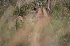 Lions Playing no more than 20 feet (3 meters) from our car. Incredible to witness nature.