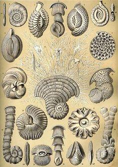 Foraminifera - Wikipedia, la enciclopedia libre