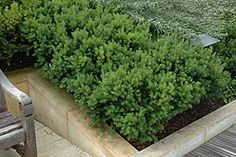 Dark Green Spreader Yew. 4' H x 6' W. Shade to full sun. Average to evenly moist conditions. Zone 4.
