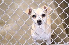 09/04/14~ODESSA URGENT~~Chihuahua no card yet ~Kennel A29~ Available NOW**** $51 to adopt Located at Odessa, Texas Animal Control. Must have a valid Drivers License and utility bill with matching address to adopt. They accept Credit Cards, cash or checks. We ARE NOT the pound. We are volunteers who network these animals to try and find them homes. Please send us a PM if we can answer any questions for you.