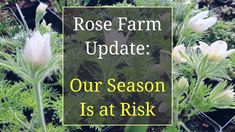 Our roses and perennials are growing well, there's just one little problem: I have no place to sell them! The Farmers Markets, spring plant sales and other s. Poppy Photo, Fraser Valley, Spring Plants, Plant Sale, Beautiful Roses, You Can Do, Farmer, Perennials, Poppies