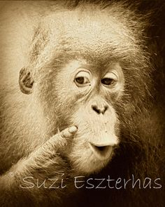 FUNNY BABY MONKEY, Vintage Sepia Photo- 8 X 10 Print - Baby Animal Photograph, Wildlife Photography, Nursery Art, Orangutan, Funny  FUNNY BABY MONKEY Vintage Sepia Photo 8 X 10 Print  by WildBabies, $24.00