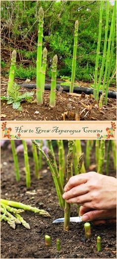 How to Grow Asparagus Crowns - kitchen Garden - Plantio Veg Garden, Fruit Garden, Edible Garden, Lawn And Garden, Vegetable Gardening, Veggie Gardens, Garden Leave, Garden Club, Garden Art