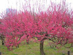 Le Prunus Mume 'Béni-Chidori' apporte une note fortement colorée dans votre jardin en février-mars ! Prunus Mume, Plantation, Winter Colors, Small Trees, Trees And Shrubs, Garden Plants, Seeds, Japanese, Landscape