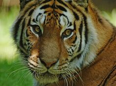 Baby face tiger