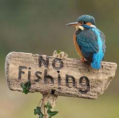 Kingfisher (Alcedo atthis) Eurasia and North Africa Pretty Birds, Love Birds, Beautiful Birds, Animals Beautiful, Cute Animals, Photo Animaliere, Photo Chat, Wildlife Photography, Animal Photography