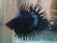 Crowtail black orcid