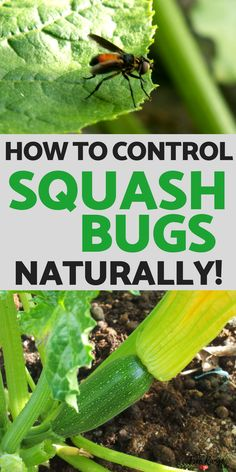 Are squash bugs destroying your garden? Learn how to control squash bugs naturally in your organic garden #gardenideas #organicgardening ga