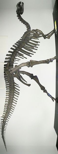 Muttaburrasaurus was a genus of herbivorous ornithopod dinosaur, which lived in what is now northeastern Australia sometime between 112 and 99.6 million years ago during the early Cretaceous Period. It has been recovered in some analyses as a member of the iguanodontian family Rhabdodontidae.After Kunbarrasaurus, it is Australia's most completely known dinosaur from skeletal remains. It was named after Muttaburra, the site in Queensland, Australia, where it was found