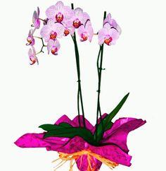 Orquidea Phalaenopsis para regalar