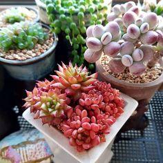 Colorful Succulents, Succulents In Containers, Container Plants, Propagating Succulents, Succulent Gardening, Planting Succulents, Terrarium Plants, Succulent Terrarium, Buffet Set