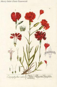 Elizabeth Blackwell Curious Herbal Prints 1757.