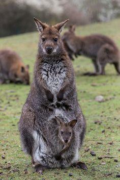 Kangaroo and Baby                                               #animals #kangaroo