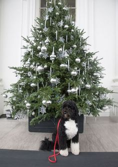 Bo in front of the Christmas tree in the White House, US