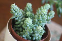 Plant | Succulent | Donkey's Tail | My favorite succulent.