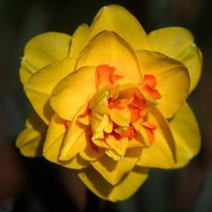 """Tahiti - (4 Y-O) single flowered, multiple rows of very soft yellow, rounded, beautifully formed petals with bright red segments in the middle; strong stemmed, blast resistant perennializer and a great show flower; 14""""-16""""; late-midseason; zones 3-8."""