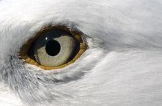 Google Afbeeldingen resultaat voor http://static.nationalgeographic.nl/pictures/genjUserPhotoPicture/original/44/01/23/oog-van-de-meeuw-230144.jpg