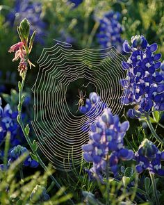 Bluebonnet Spider.... I have TX bluebonnets in my yard too! they haven't bloomed yet.