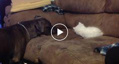 A Reação De Um Pitbull Ao Encontrar Um Gatinho Bebé