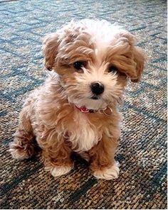 Maltipoo. Our future dog!!! Ahh so cute!!!!!!
